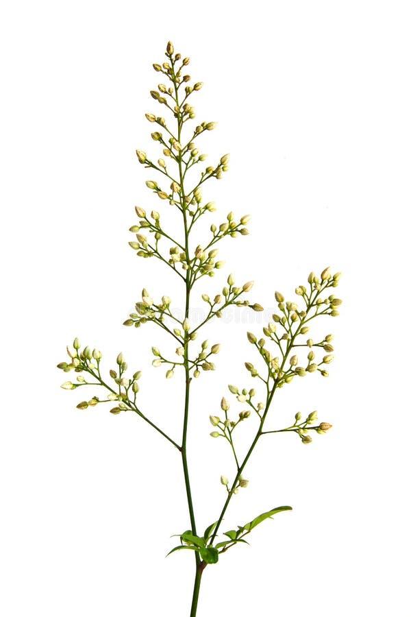Flores de Nandina Domestica imagen de archivo