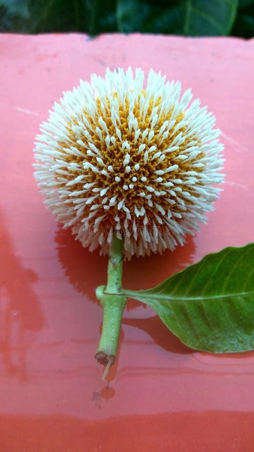 Flores de Niddles fotografía de archivo libre de regalías