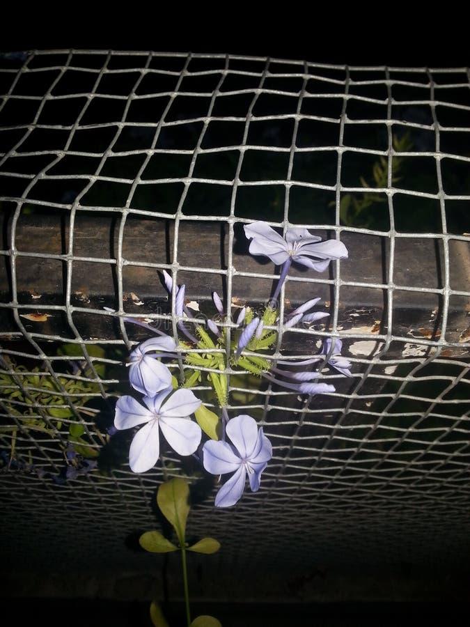 Flores de noite da estrela e estrutura da Web foto de stock royalty free