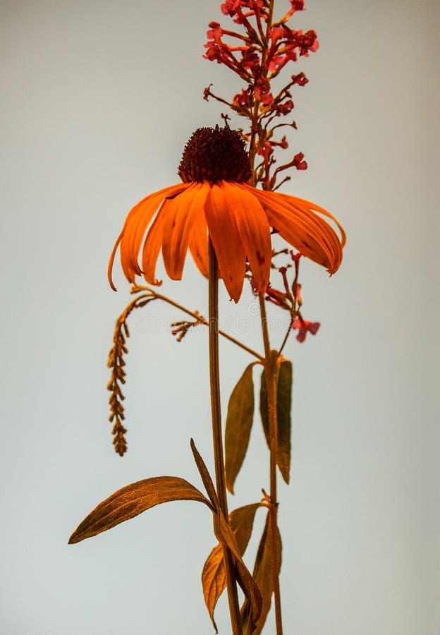 Flores de olhos castanhos de Bush de Susan e de borboleta foto de stock royalty free