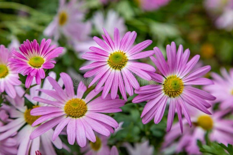 Flores de Osteospermum imagenes de archivo