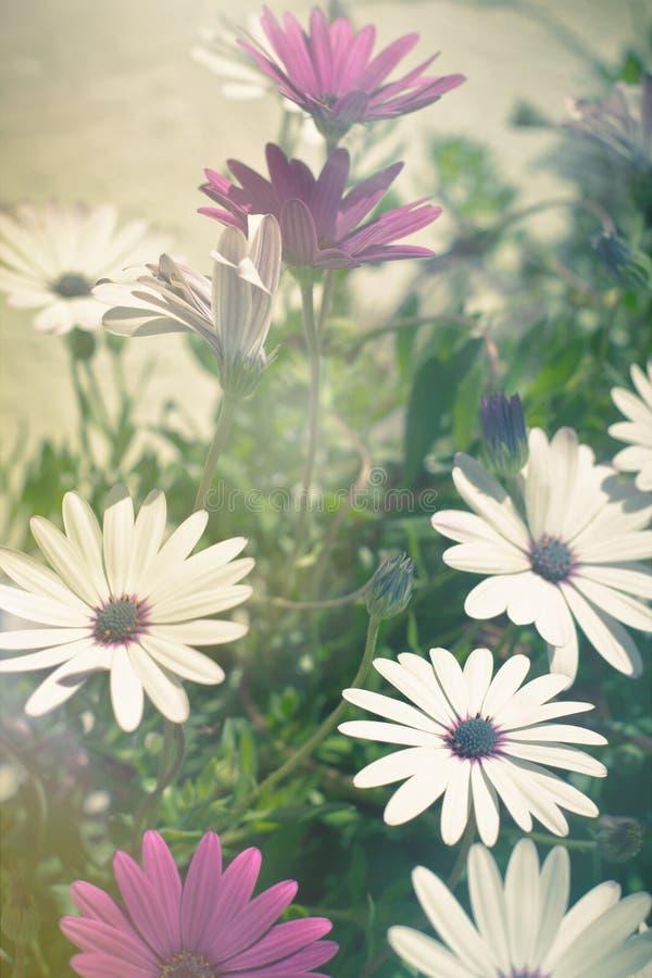 Flores de Osteospermum en Sunny Day fotografía de archivo