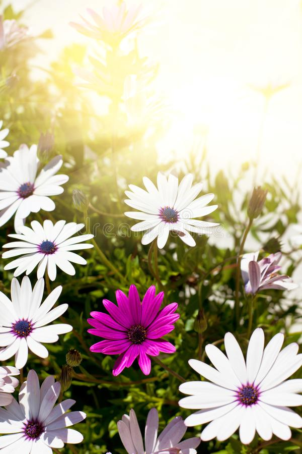 Flores de Osteospermum en Sunny Day imagen de archivo libre de regalías