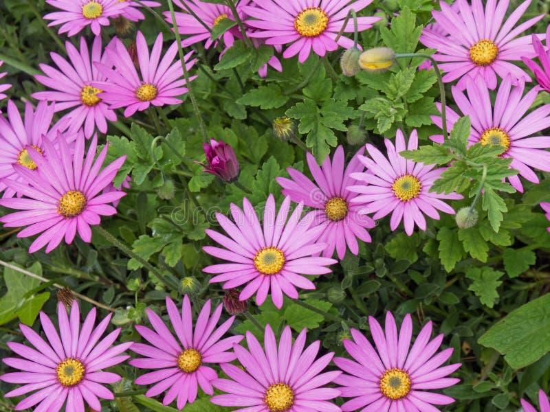 Flores de Osteospermum que florecen en Devon Reino Unido fotos de archivo libres de regalías
