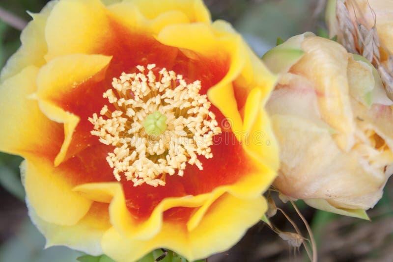 Flores de Pale Yellow Prickly Pear Cactus imagen de archivo