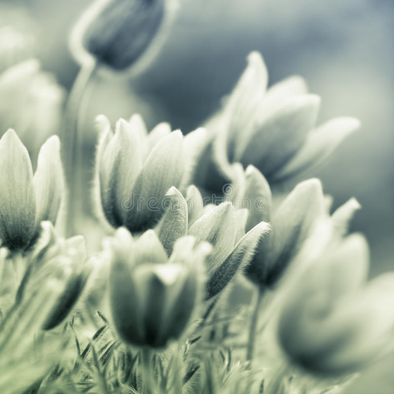 Flores de Pasque foto de stock royalty free