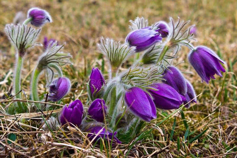 Flores de pasque roxas na primavera imagens de stock