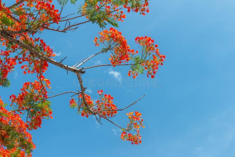 Flores de pavo real anaranjadas en árbol del poinciana fotos de archivo libres de regalías