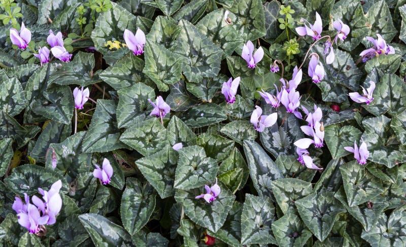Flores de Persicum do cíclame fotos de stock