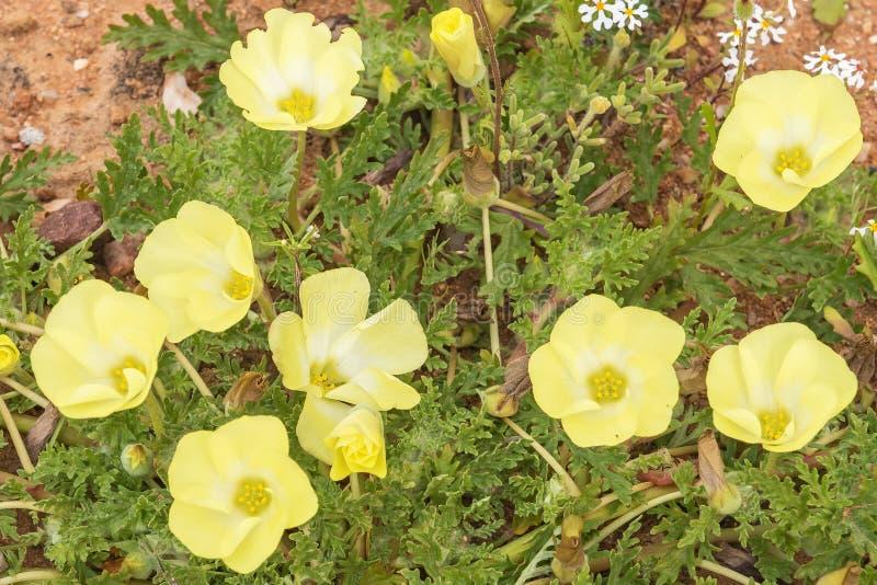 Flores de Pietsnot foto de archivo