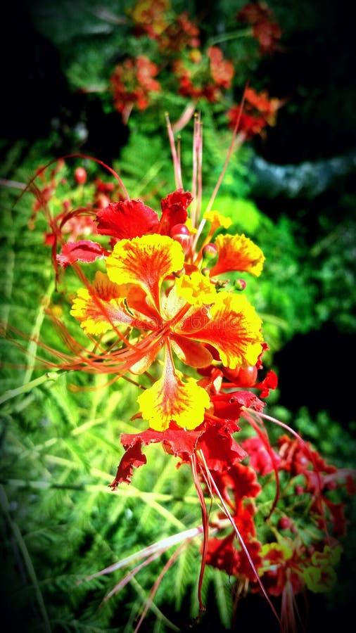 Flores de Poinciana foto de archivo