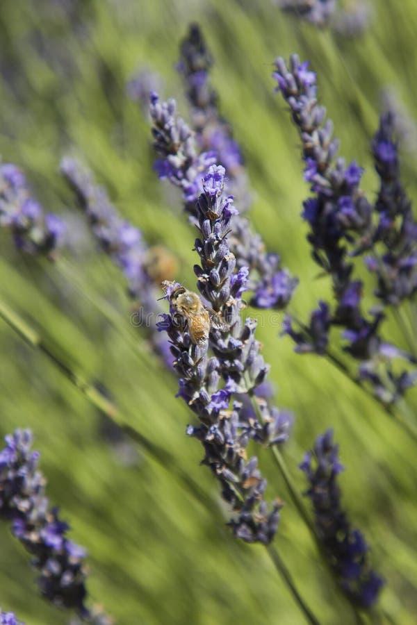 Flores de polinización de la abeja   imágenes de archivo libres de regalías