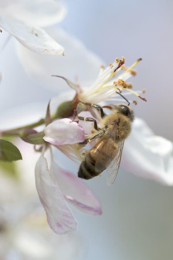 Flores de polinización del crabapple de la abeja, vista lateral imagenes de archivo