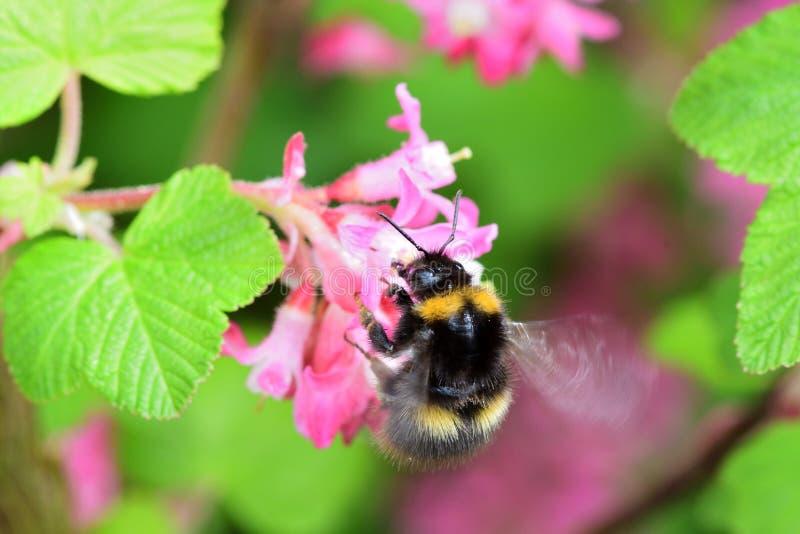 Flores de polinización del ribes del abejorro imagen de archivo