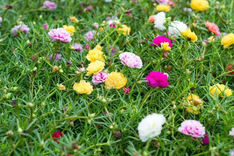 Download Flores de Portulaca imagem de stock. Imagem de pétala - 29841293