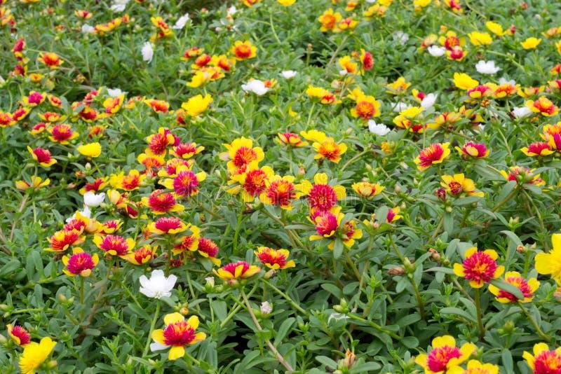 Download Flores de Portulaca imagem de stock. Imagem de fundo - 29841591