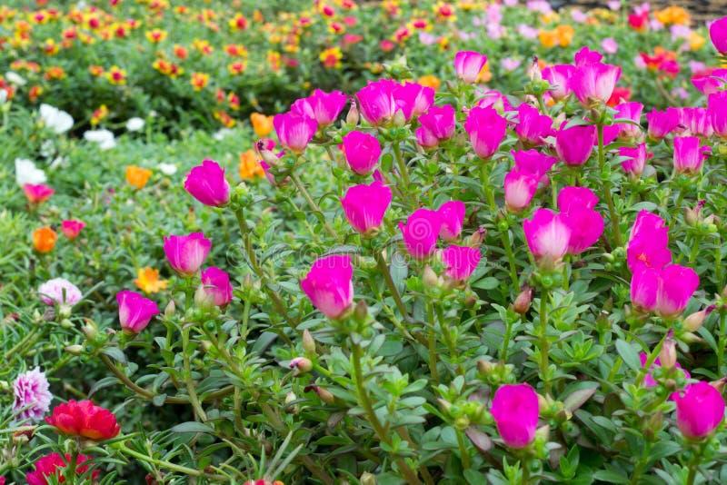 Download Flores de Portulaca imagem de stock. Imagem de botany - 29841595