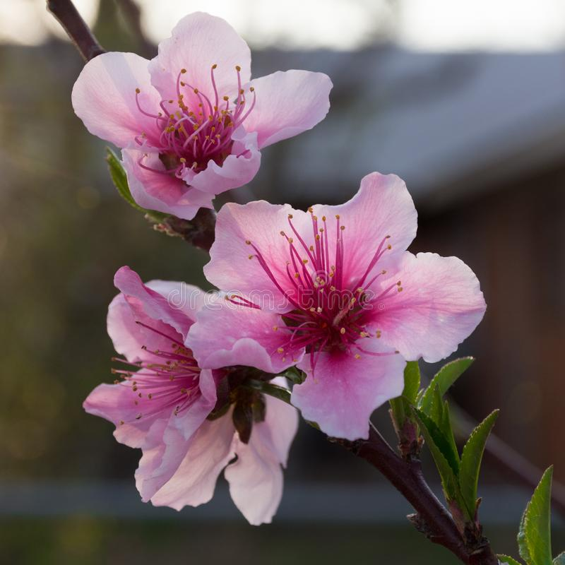 Flores de Prunus Persica do pêssego no por do sol imagens de stock