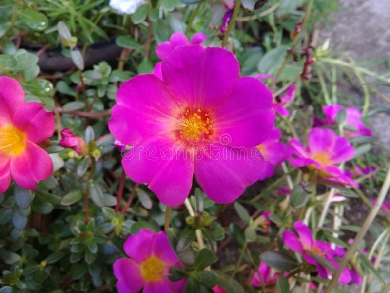 Flores de Purples de los colores de rosa fotos de archivo libres de regalías