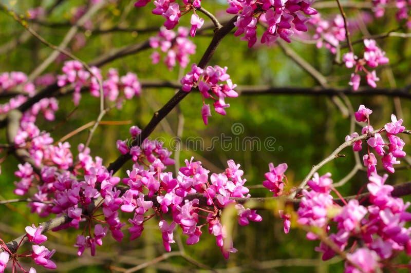 Flores de Redbud fotos de archivo