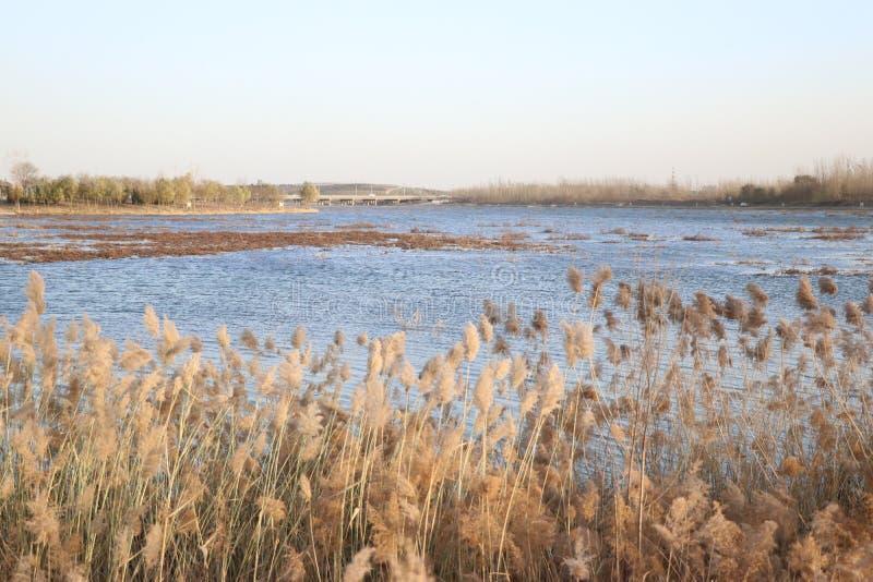 Flores de Reed en el viento foto de archivo libre de regalías