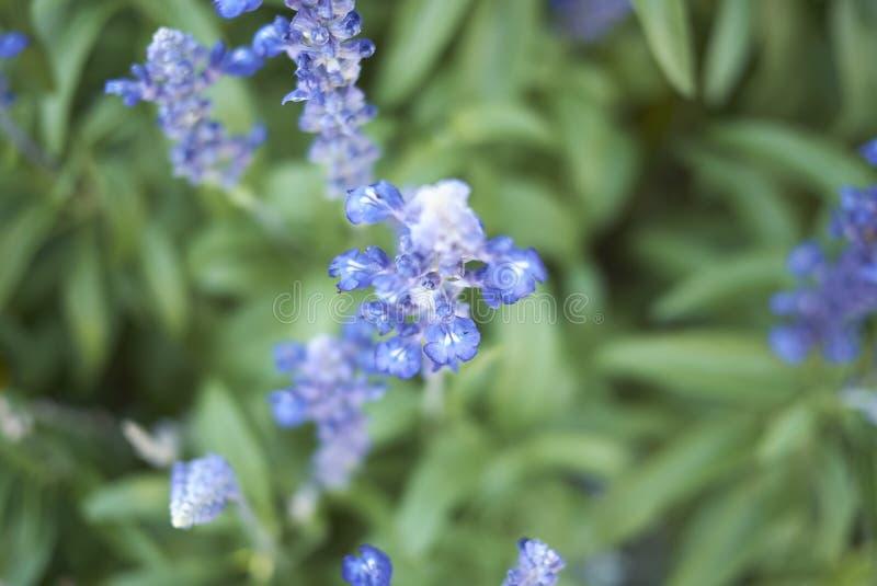 Flores de Reptans del Ajuga fotografía de archivo