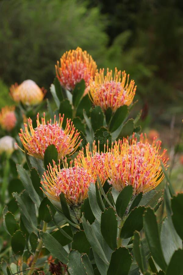 Flores de rey Protea fotografía de archivo libre de regalías
