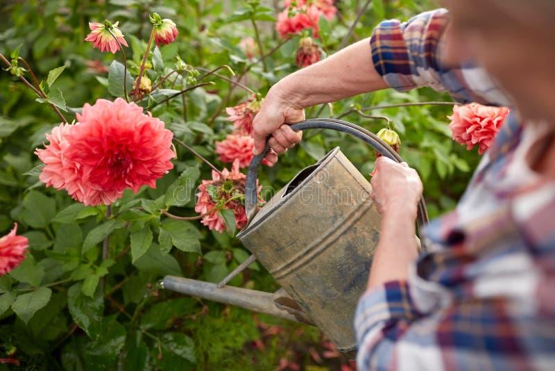 Flores de riego de la mujer mayor en el jardín del verano foto de archivo
