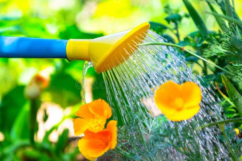 Flores de riego en una cama de flor de una regadera azul y amarilla El concepto de cultivar un huerto y de cuidado de la planta C imagenes de archivo