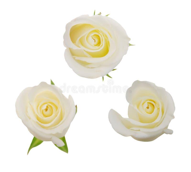 Flores de Rosa imagem de stock royalty free