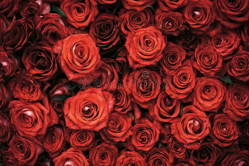 Flores de Rosa com pétalas vermelhas, mola fotos de stock