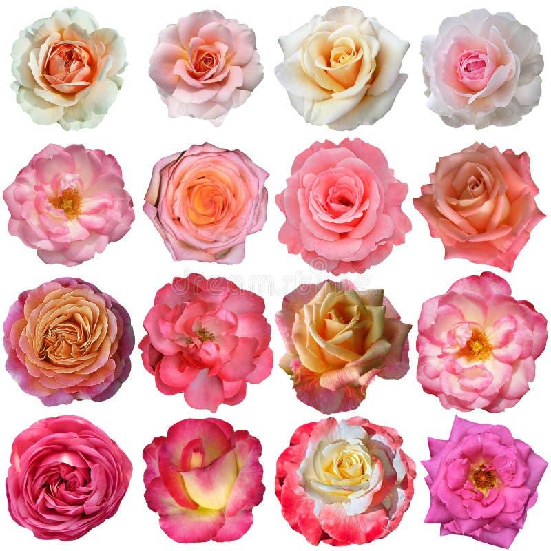 Flores de Rosa isoladas no fundo branco imagem de stock royalty free