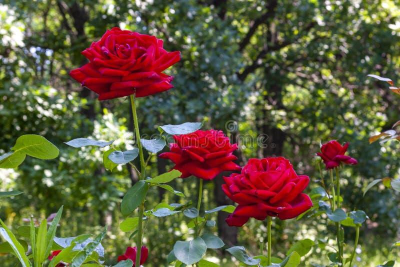 Flores de rosas en el fondo de un jardín soleado imágenes de archivo libres de regalías