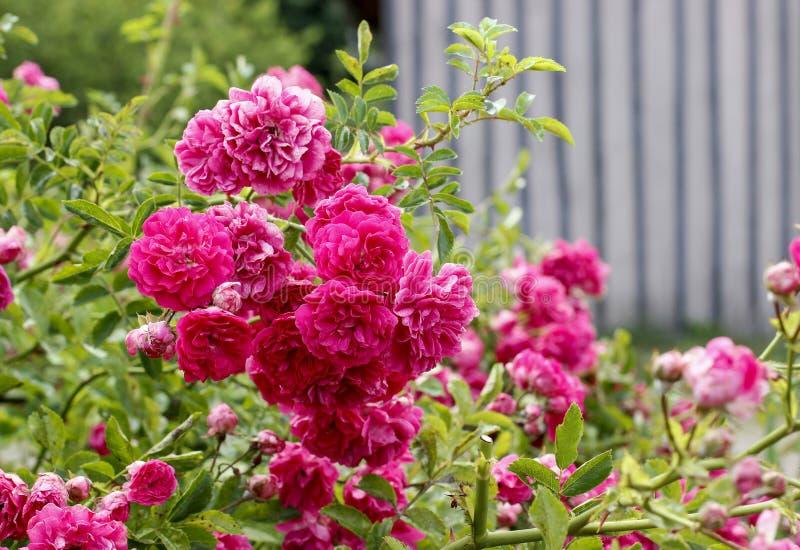 Download Flores De Rose En El Jardín Imagen de archivo - Imagen de pink, cubo: 42446263