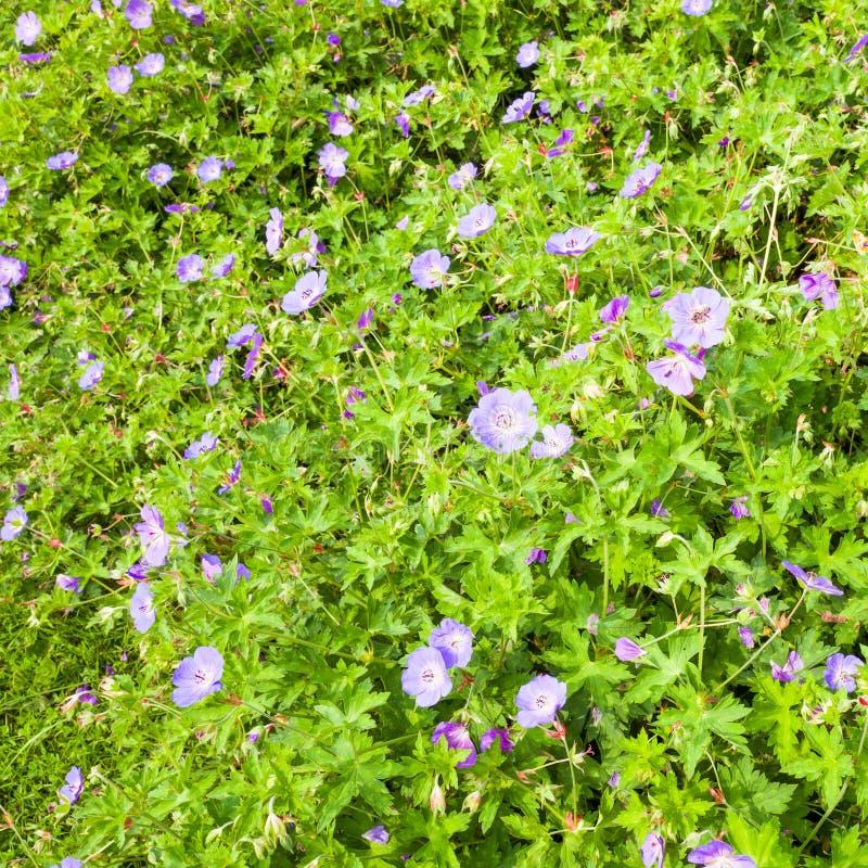Flores de Rozanne del geranio fotografía de archivo libre de regalías
