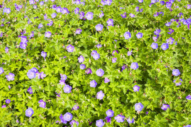 Flores de Rozanne del geranio imagen de archivo libre de regalías
