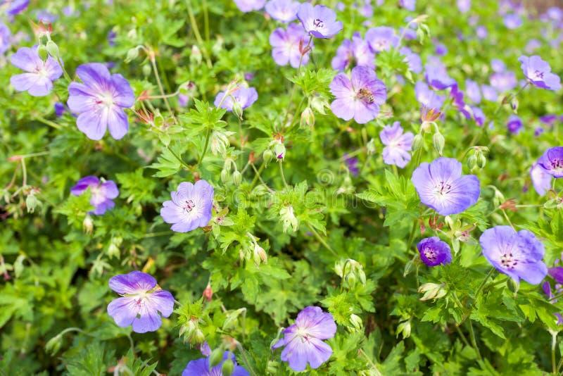 Flores de Rozanne del geranio imagenes de archivo