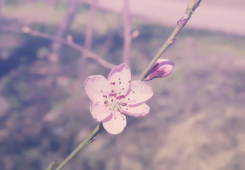 Flores de Sakura de la primavera Imagen entonada Foco suave foto de archivo