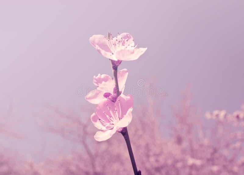 Flores de Sakura de la primavera Imagen entonada Foco suave imagen de archivo