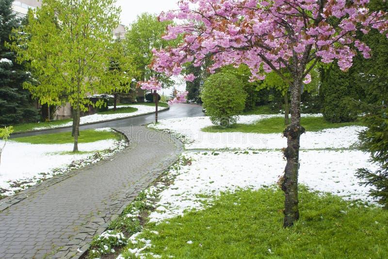 Flores de Sakura en la nieve imagenes de archivo