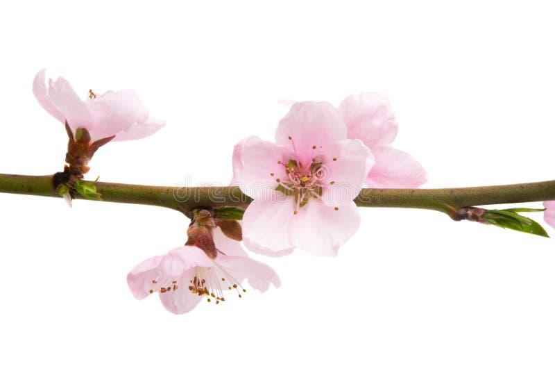 Flores de Sakura isoladas imagem de stock