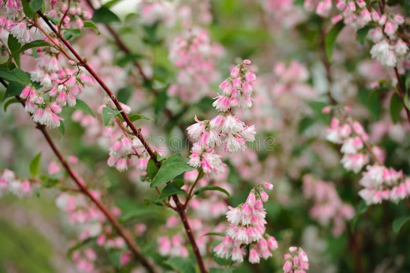 Flores de Scabra do Deutzia no arbusto imagens de stock