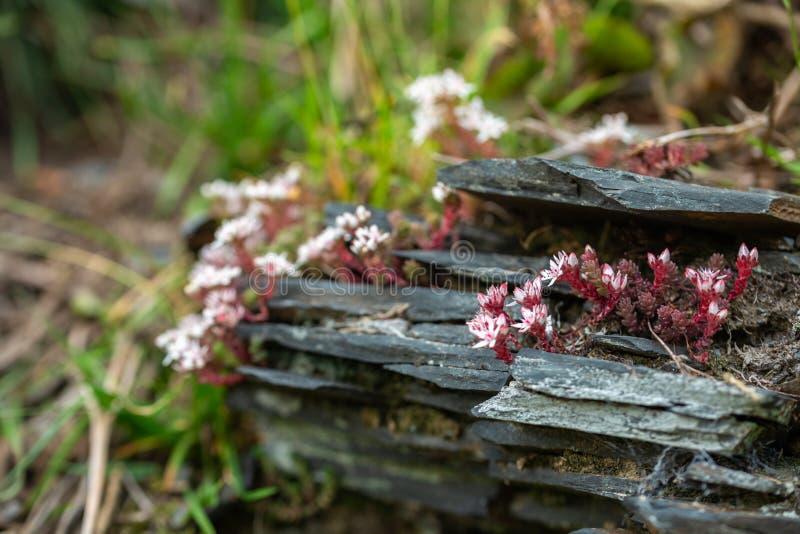 Flores de Sedum, de cor rosa-branca, em rochas de ardósia fotos de stock royalty free