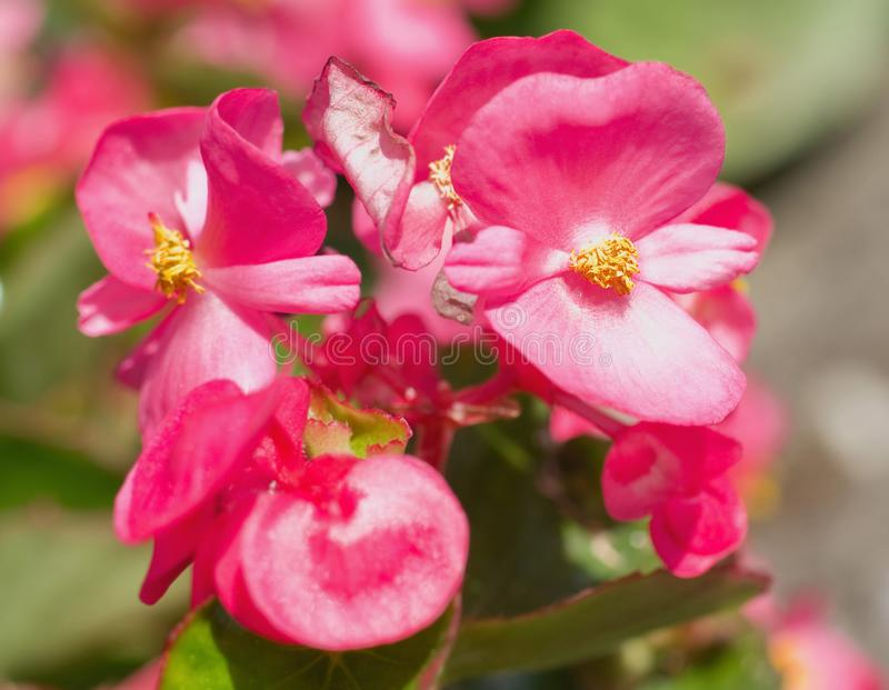 Flores de semperflorens da begônia do close-up imagem de stock