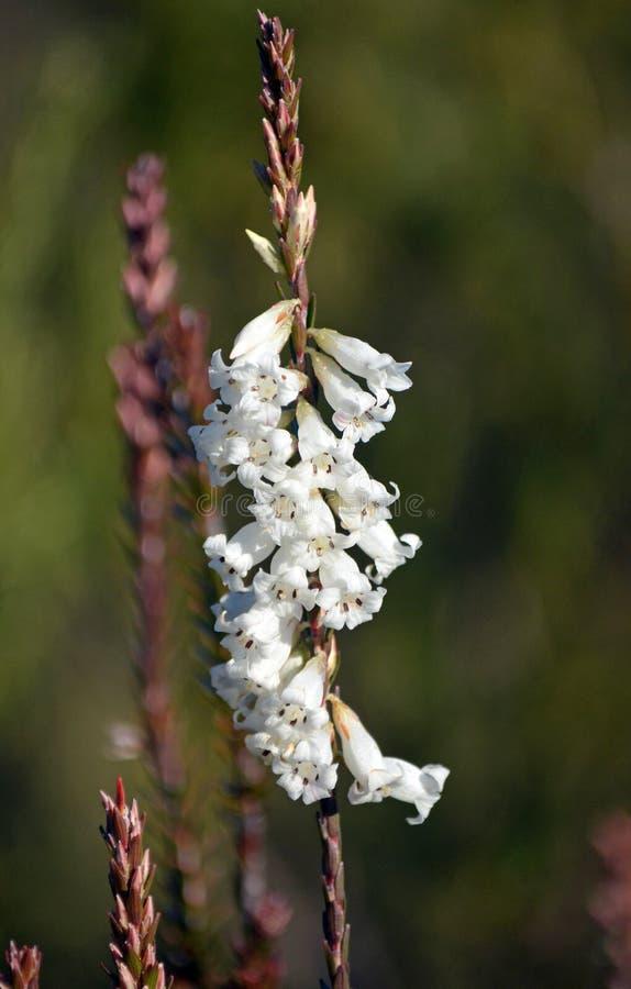 Flores de sino nativas australianas de Heath da Sem corte-folha imagens de stock