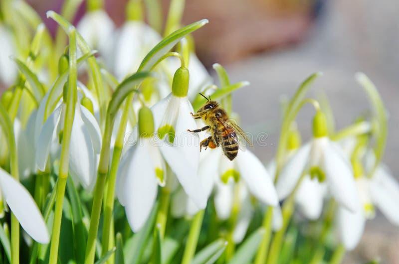 Flores de Snowdrop com abelha fotos de stock royalty free