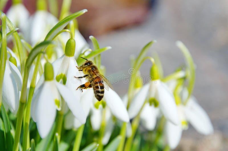 Flores de Snowdrop com close up da abelha imagens de stock royalty free