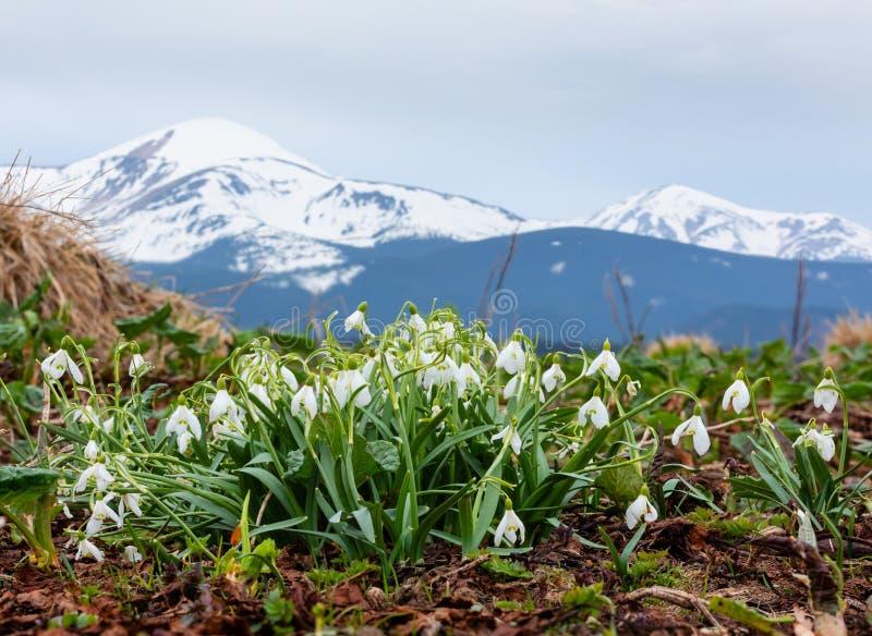 Flores de Snowdrop em montanhas da mola imagem de stock