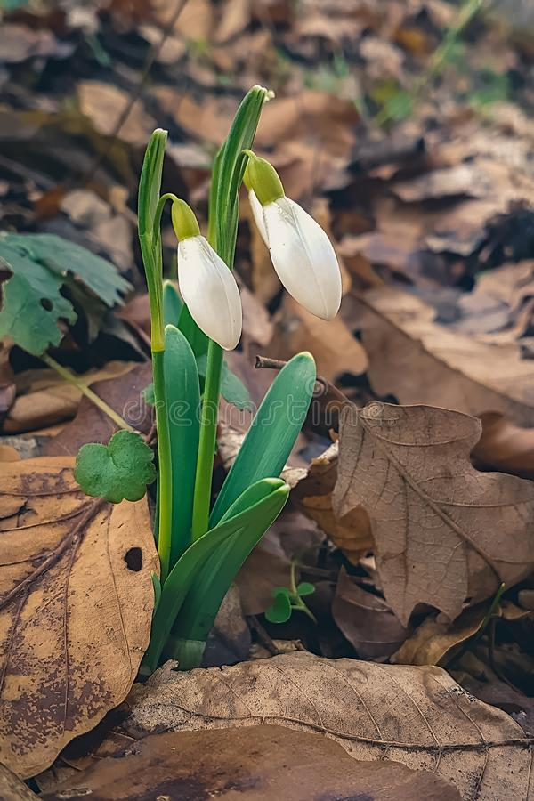 Flores de Snowdrop na mola adiantada fotos de stock