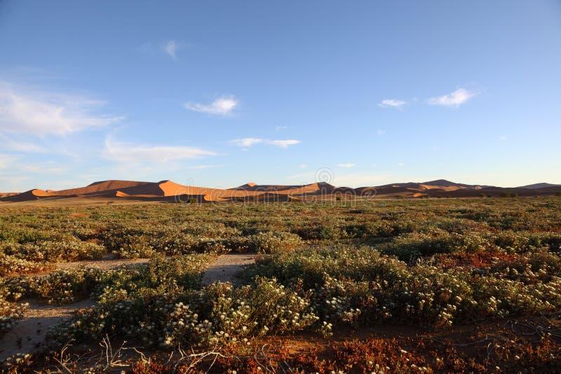 Flores de Succelent en Namib Naukluft NP imagen de archivo